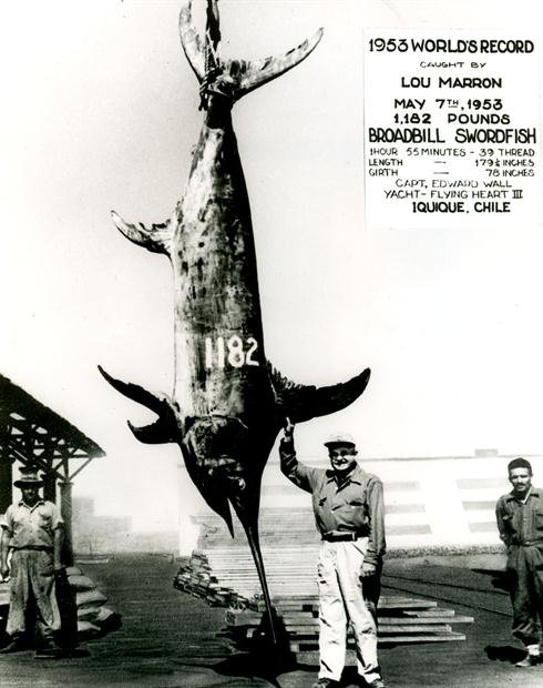 a 1182 IGFA World Record Swordfish