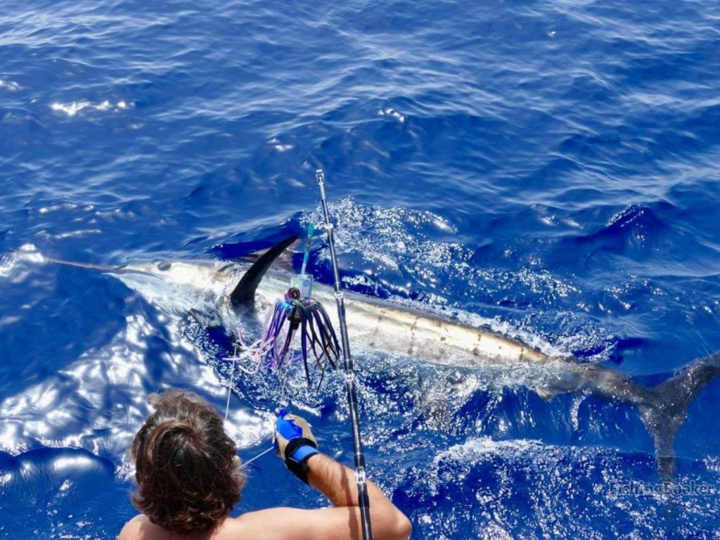 A Blue Marlin being released into the water by an angler