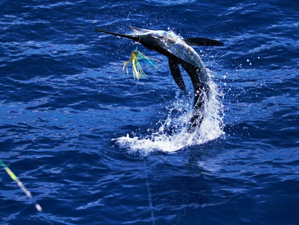 A hooked Marlin leaping out of the water
