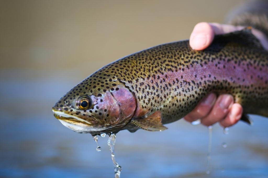 Trout caught in Missouri