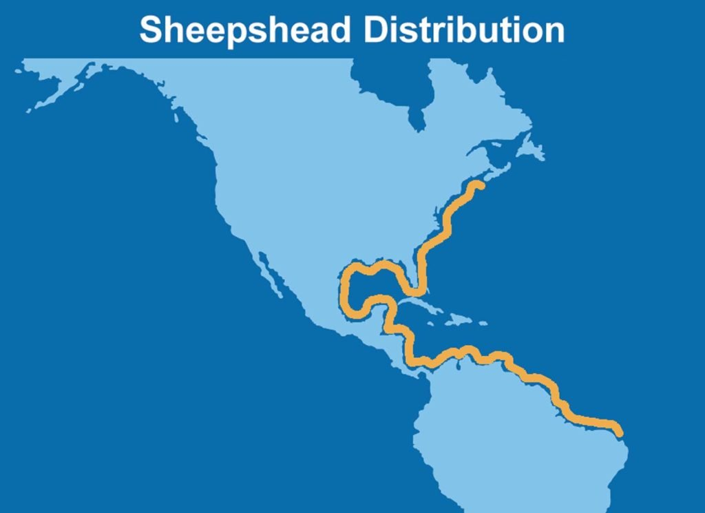 An infographic showing the distribution map of Sheepshead