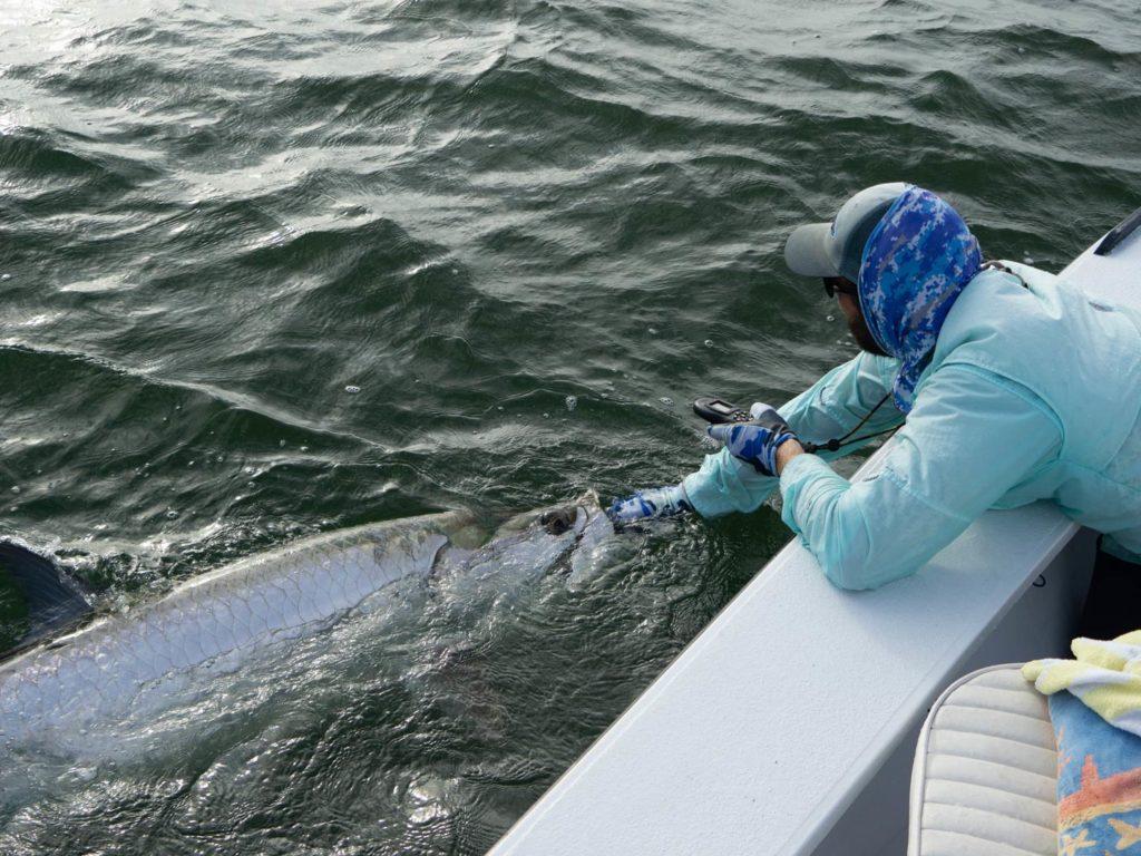 An angler releasing a big Tarpon