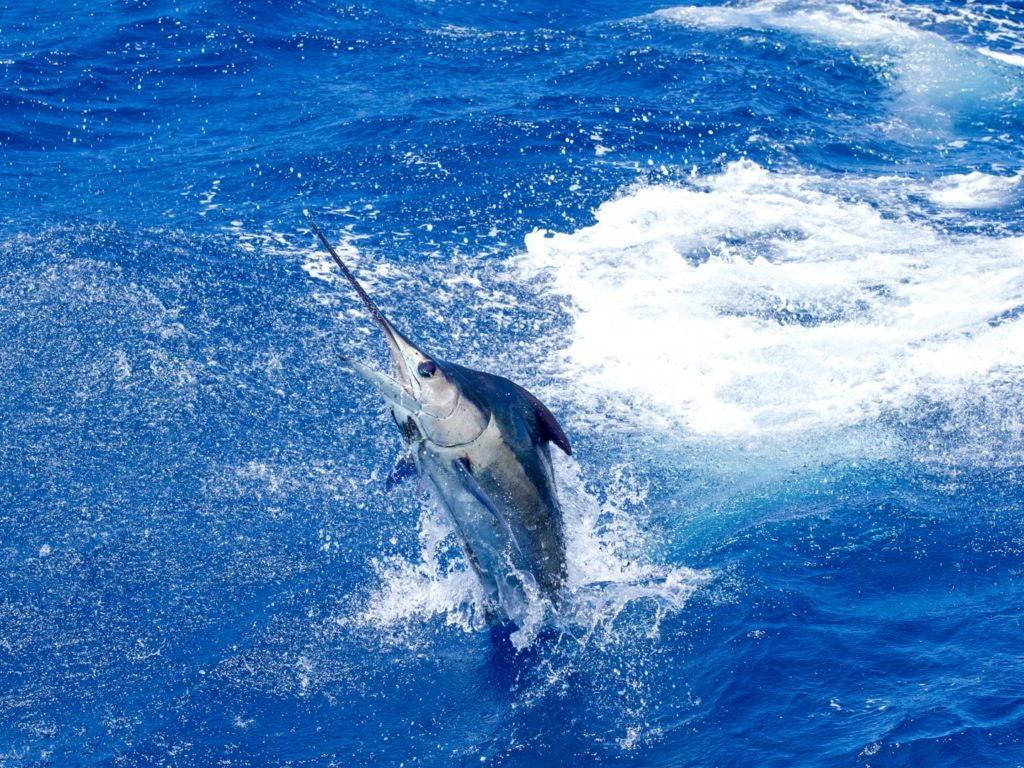 A Blue Marlin jumping half out of the water