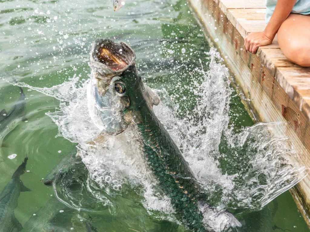 Tarpon jumping out of the water in the Florida Keys