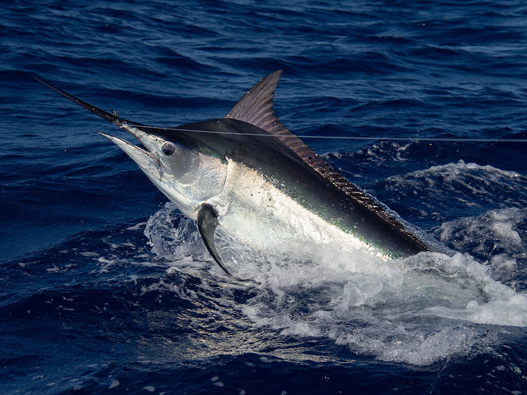 The front half of a large Black Marlin pokes out from the water. It has taken the bait and is now hooked to a fishing line stretching to the right