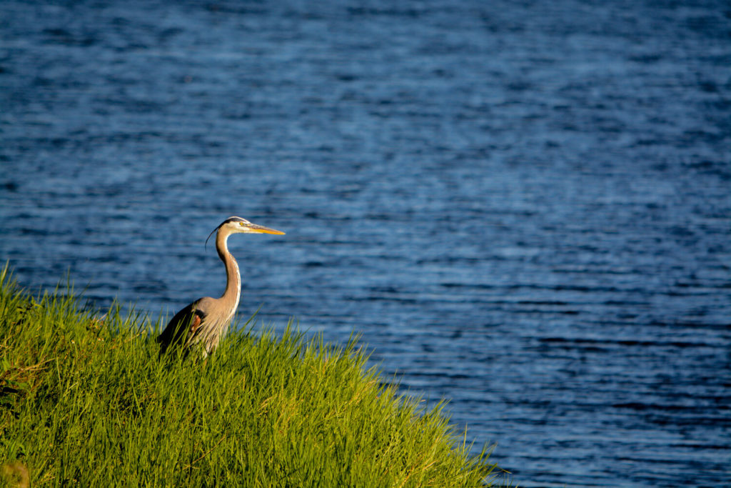 Great Blue Heron looking over Okeechobee Lake