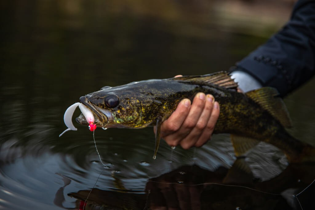 A walleye held out of the water with a soft plastic jigging lure in its mouth