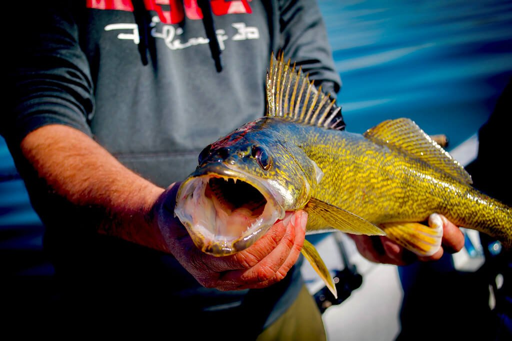 A Walleye with its mouth open held by an angler