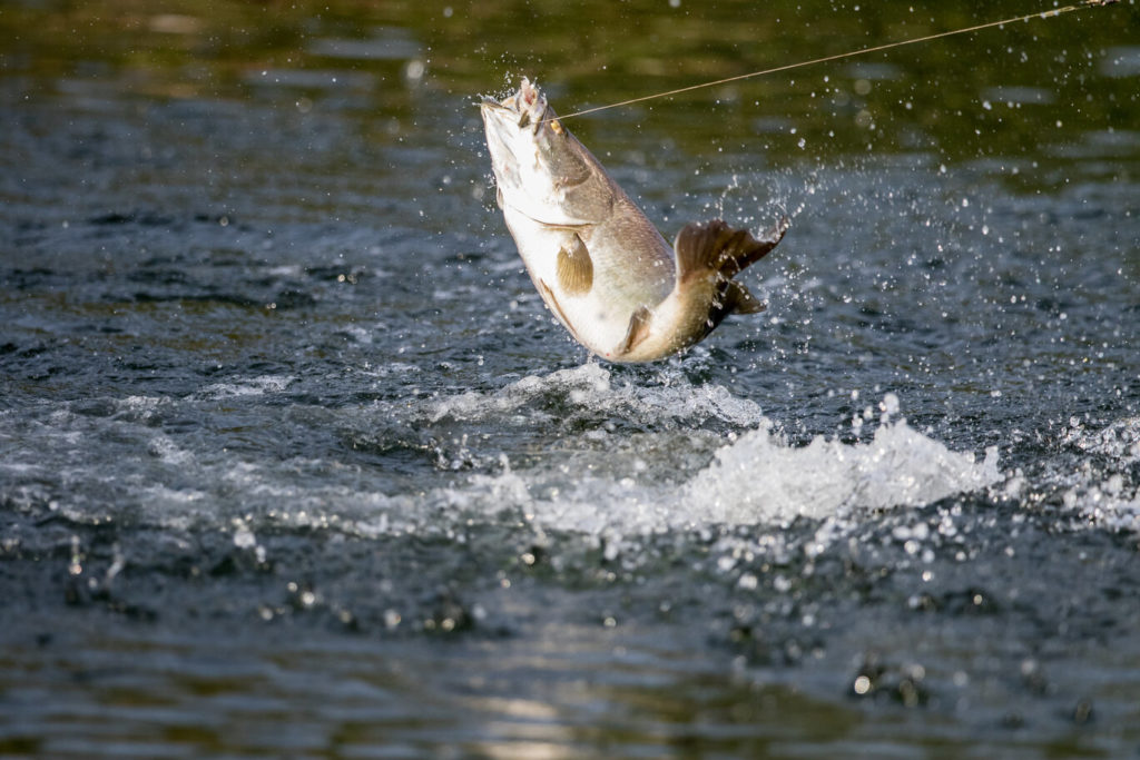 A Barramundi that has taken the bait and is jumping out of the water to shake off the hook
