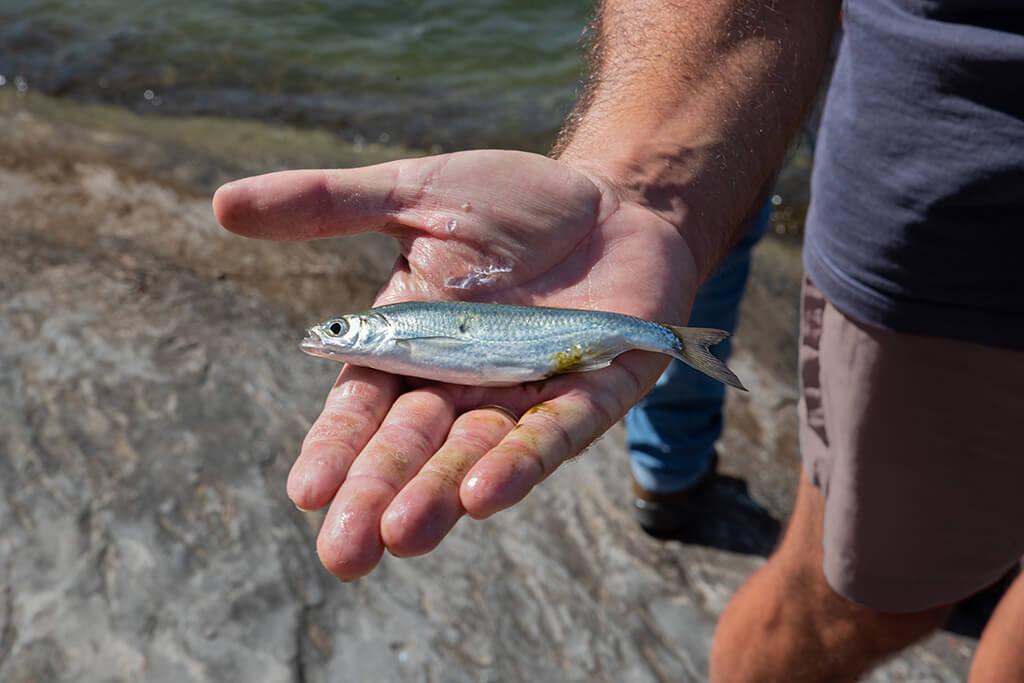 An angler holding a live finger mullet, the best bait for Flounder fishing