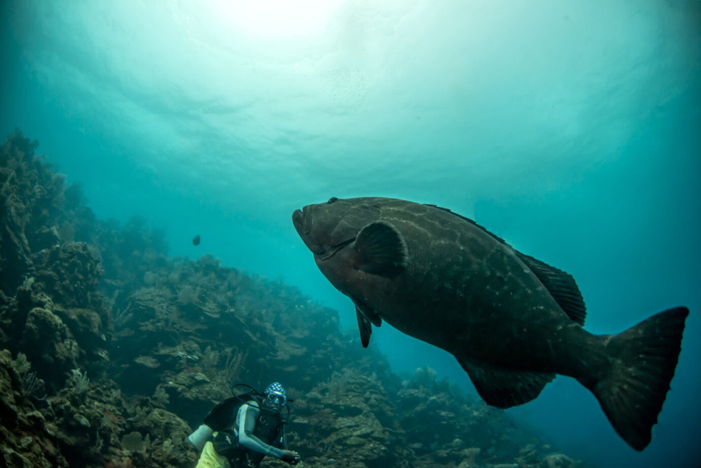 A diver looking at a Goliath Grouper under water