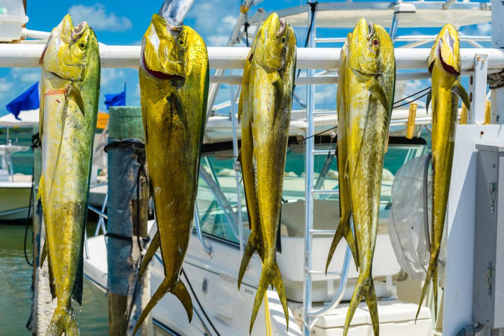 Freshly caught Mahi Mahi at a marina in the Florida Keys