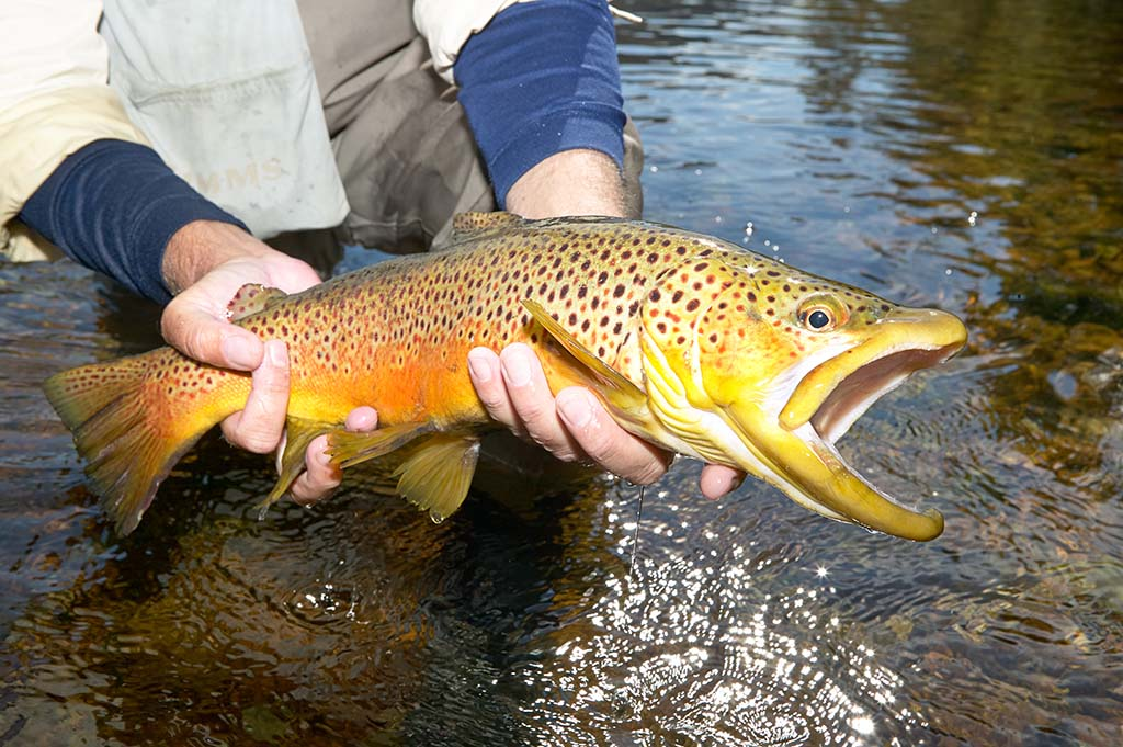 A person holds a large Trout to the camera in the White River