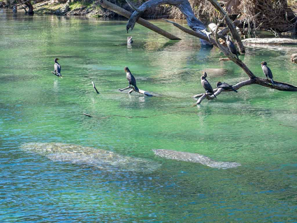 Manatees in Florida swimming together with some birds in the background.