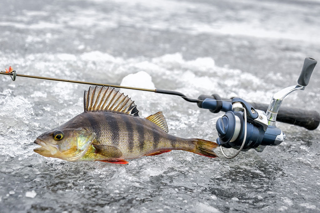 A Perch caught by ice fishing lies upright on the ice next to an ice fishing rod