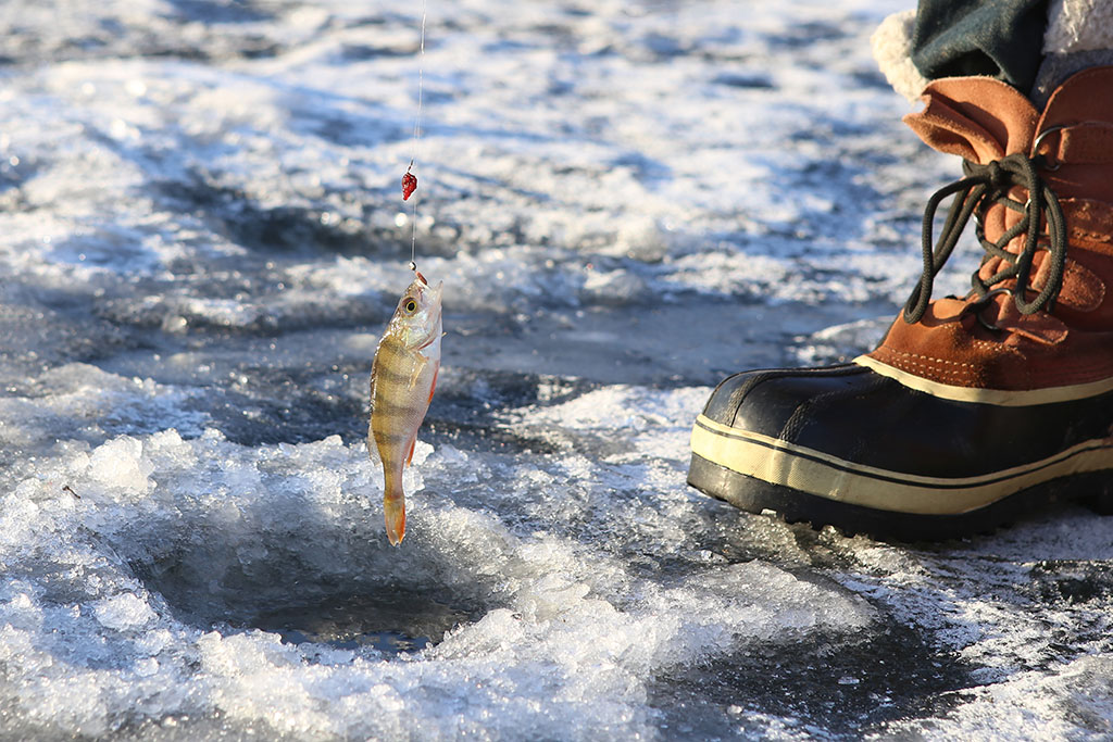 A small Perch being pulled up from a hole in the ice