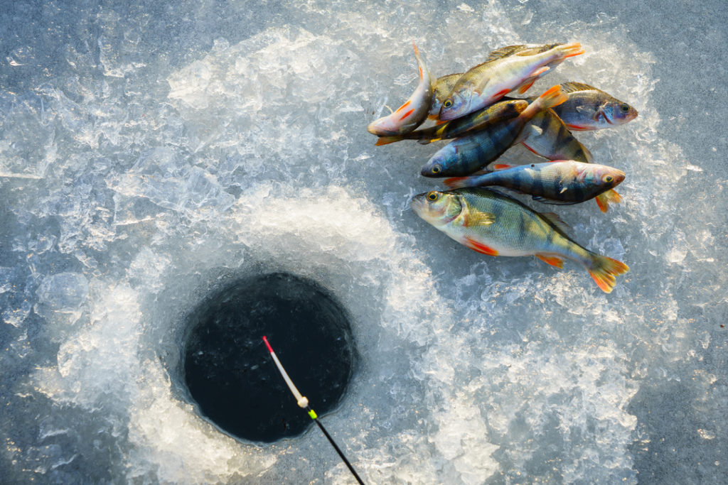 Nine freshly caught Yellow Perch on the ice near a drilled hole