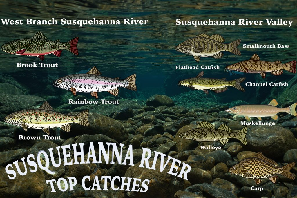 An infographic showing the most popular catches on Susquehanna River