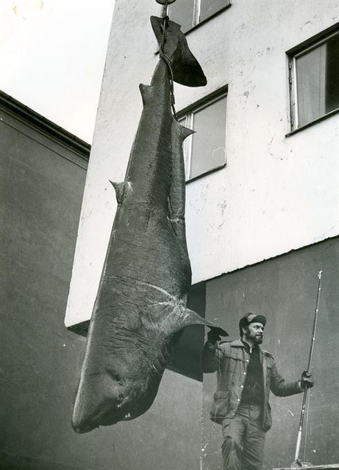 a 1708 lb 9 oz IGFA World Record Greenland Shark