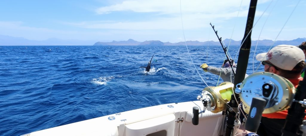 A Marlin hooked by trolling anglers