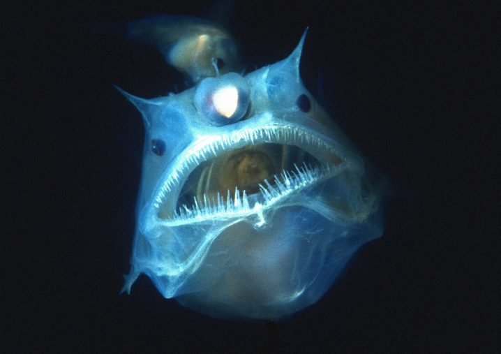 Scary Anglerfish facing camera with mouth open in the dark