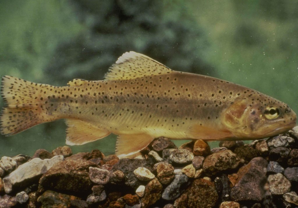 A critically-endangered Apache Trout, with its signature spots either side of its eye.