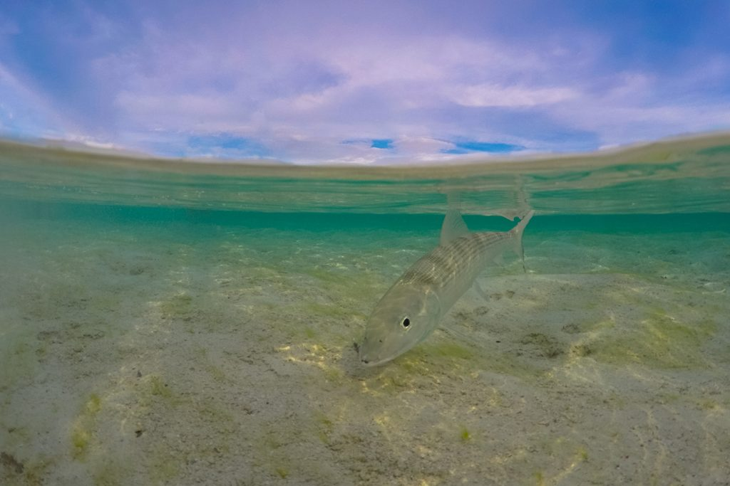 A Bonefish swimming in the flats in Bahamas