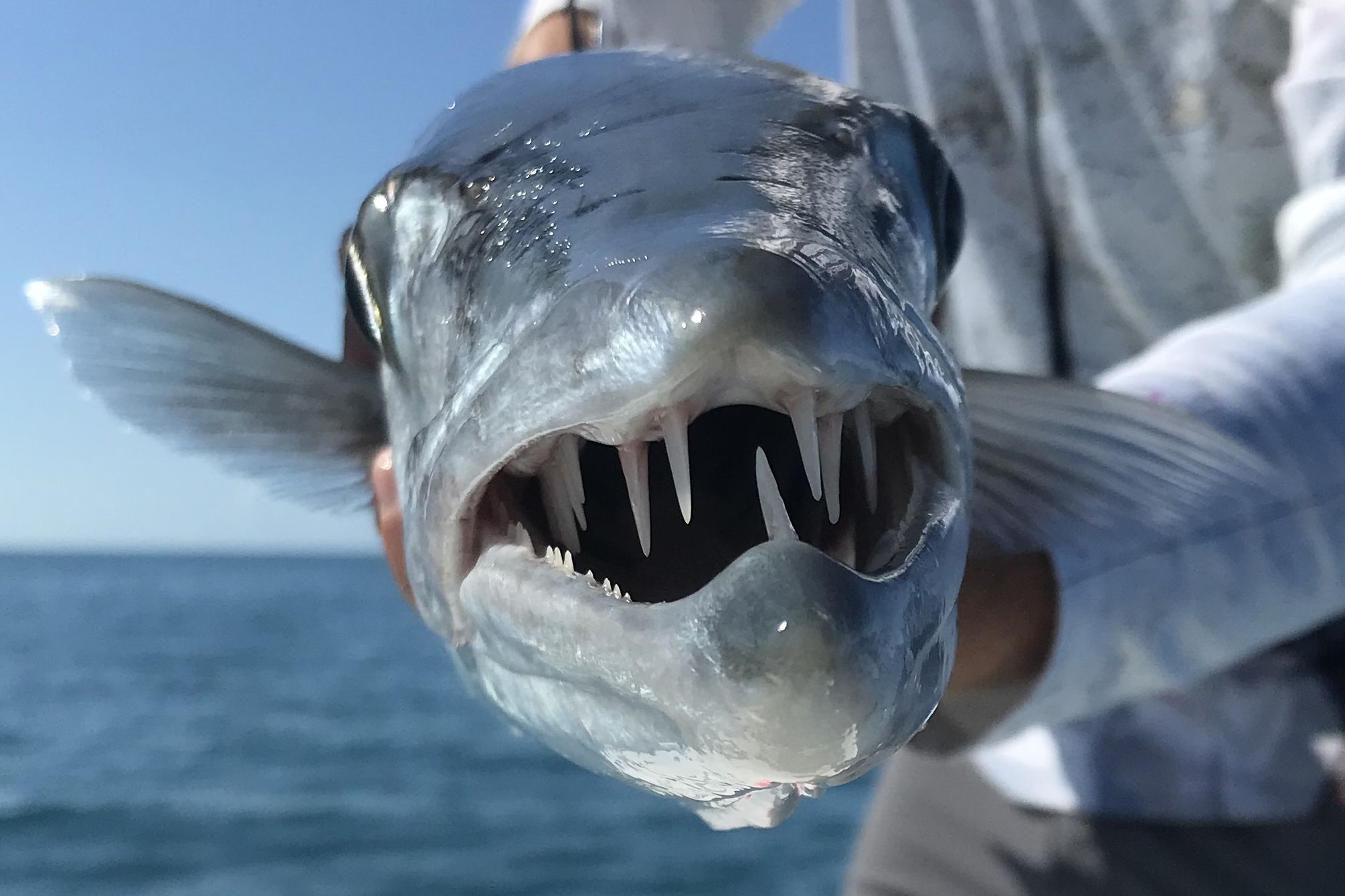 A Barracuda fish facing the camera