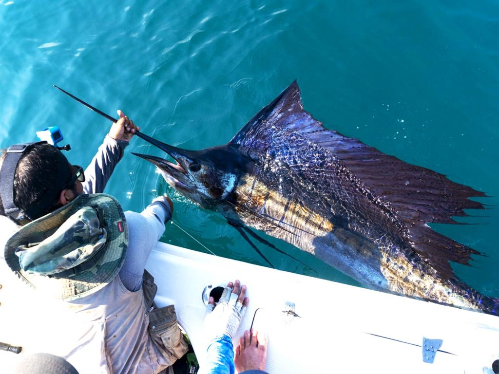 An angler holding a Sailfish in the waters of Panama City Beach