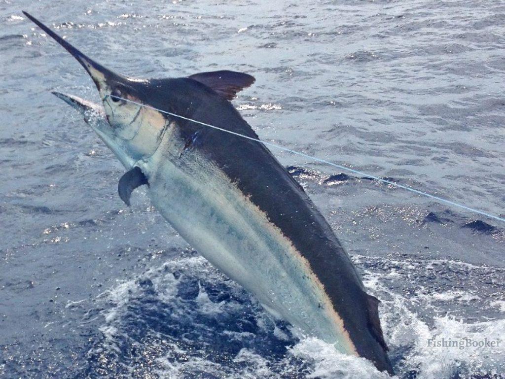 Hooked Black Marlin