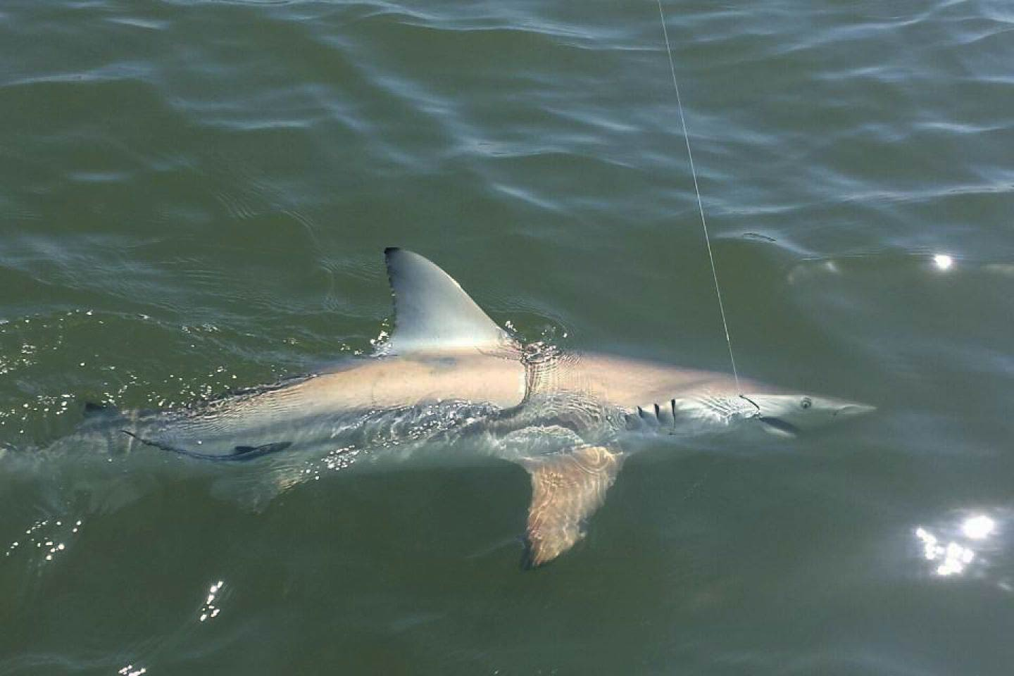 A Blacktip Shark on the end of a fishing line in the Ten Thousand Island's waters