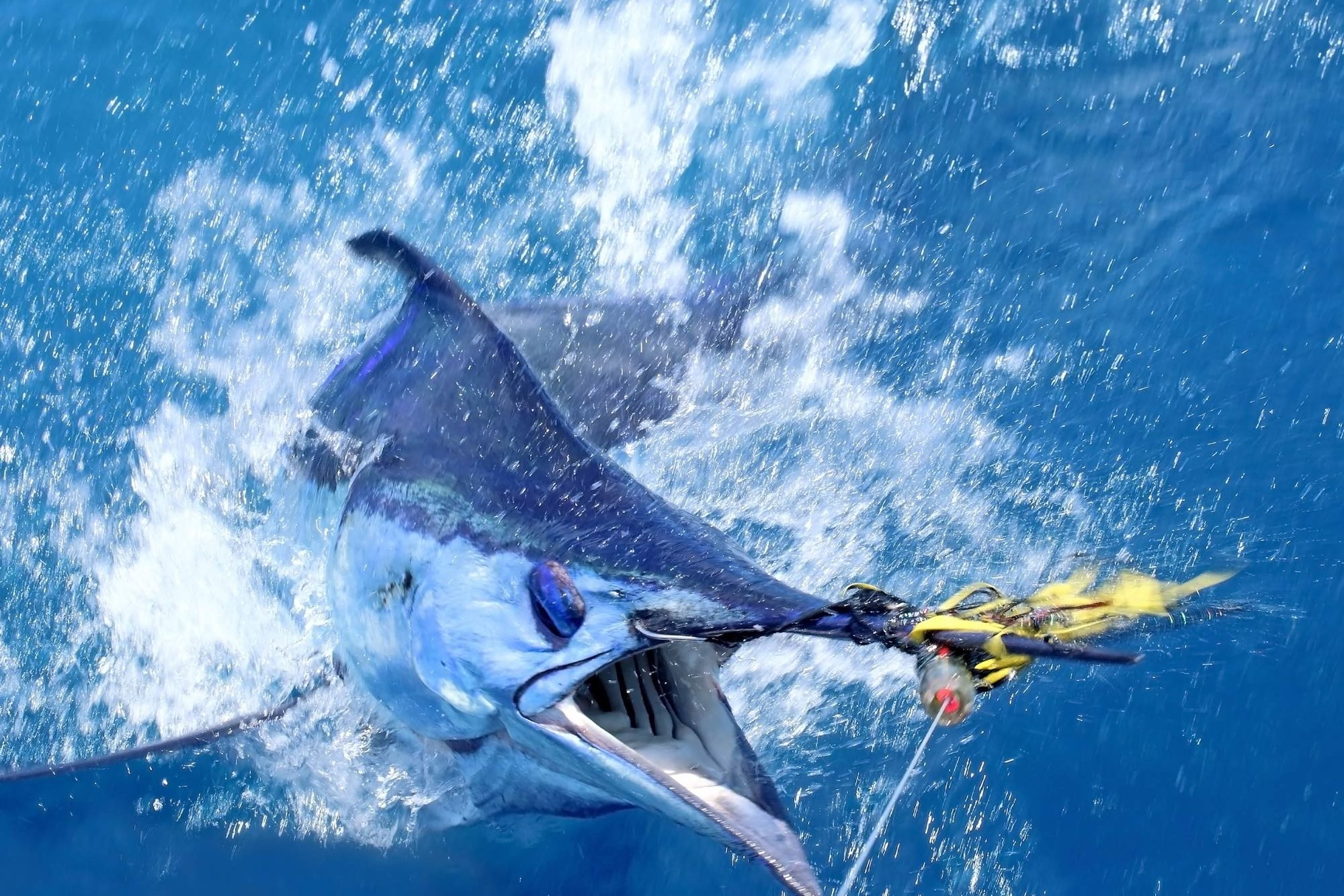 A close-up of a Marlin half-pulled out of the water on a fishing line