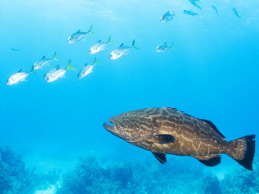 A Grouper and bait fish underwater