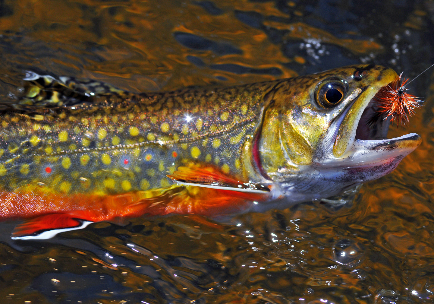 A brook trout with its head out of the water after being hooked by a fishing fly which is in its mouth.