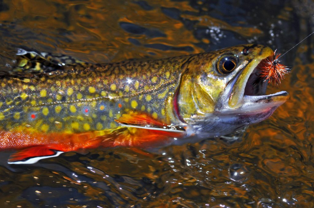 A closeup shot of beautiful Brook Trout being hooked on a fly