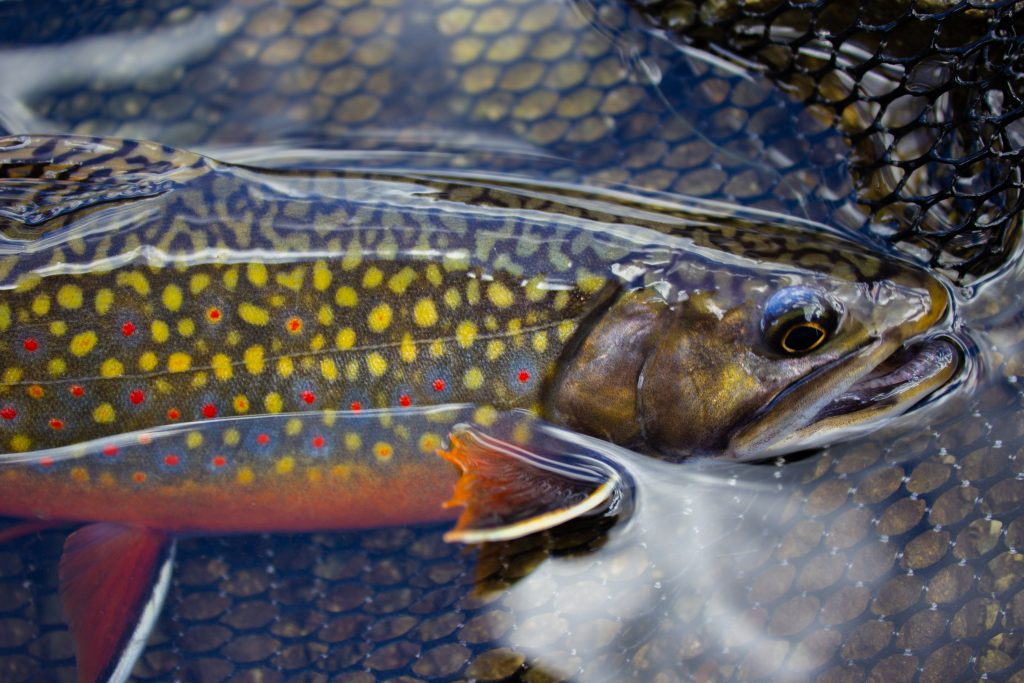 beautiful, colorful brook trout in the water