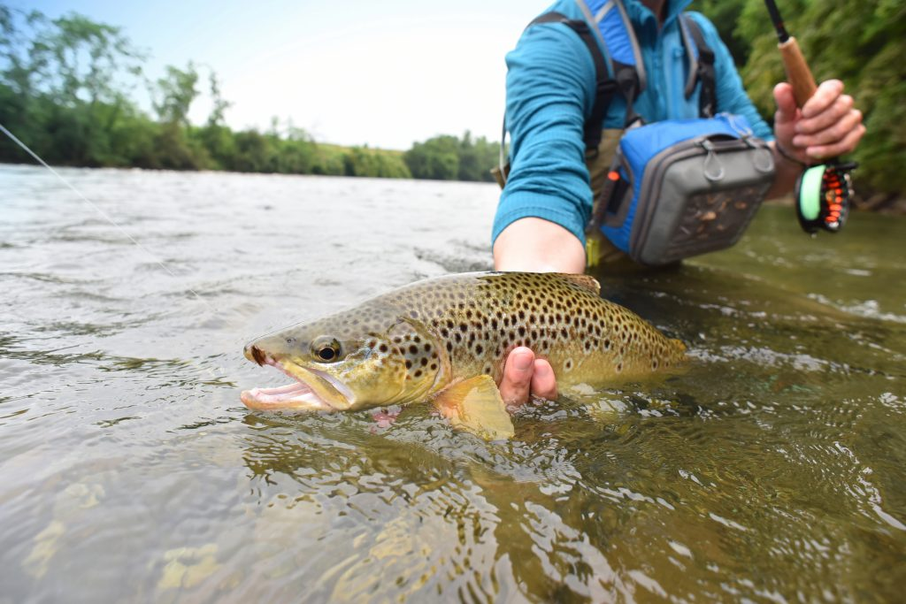 An angler holding a Brown Trout half submerged in water