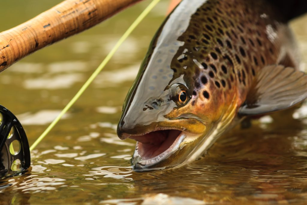 a close up of a Brown Trout caught on the fly