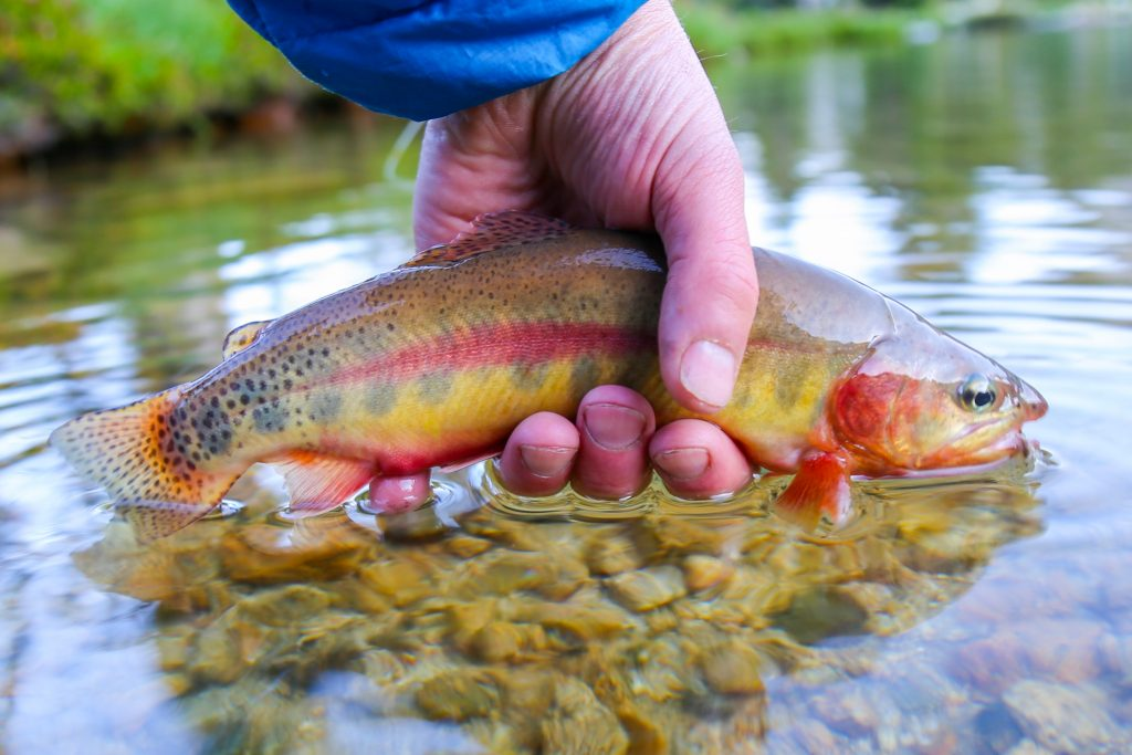 A Golden Trout, one of two California state fish, bring released into a shallow stream by an angler.