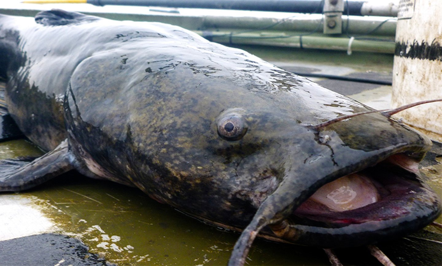 A Flathead Catfish with its mouth open on the deck of a boat