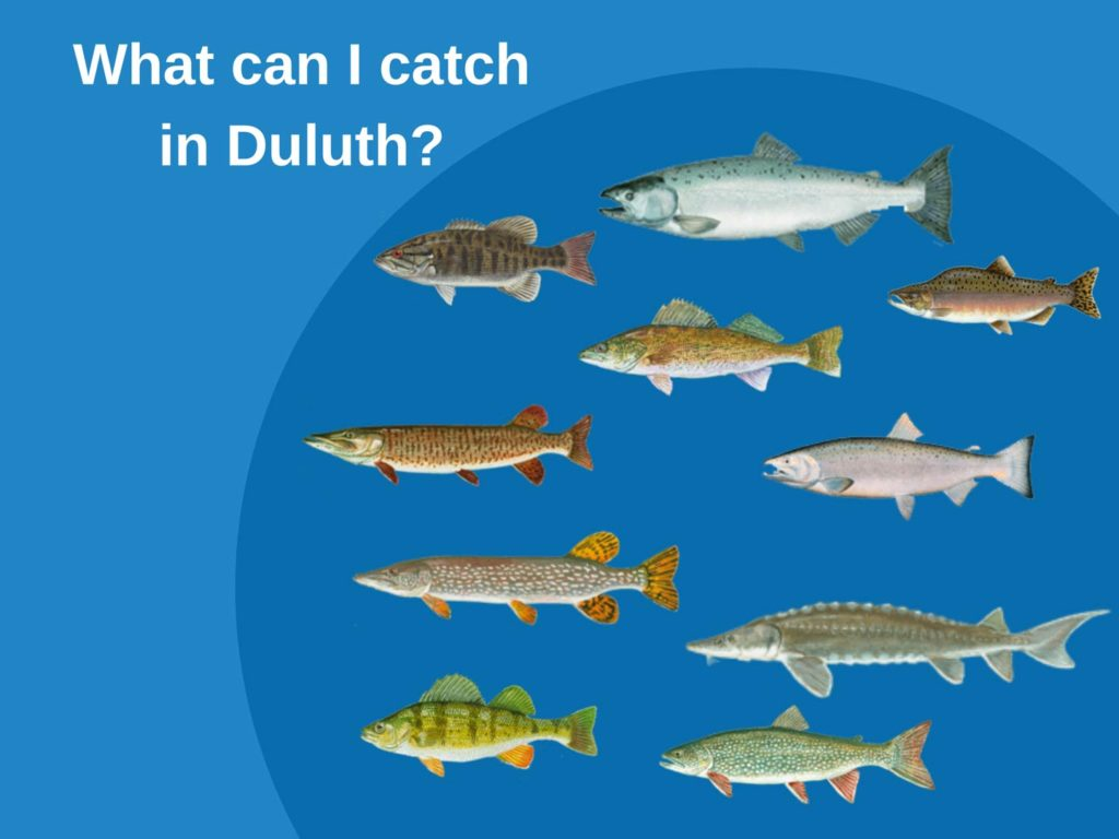 An infographic showing the top fish species to target when fishing in Duluth Minnesota, including Northern Pike, Lake Trout, Walleye, Salmon, Perch, and Bass
