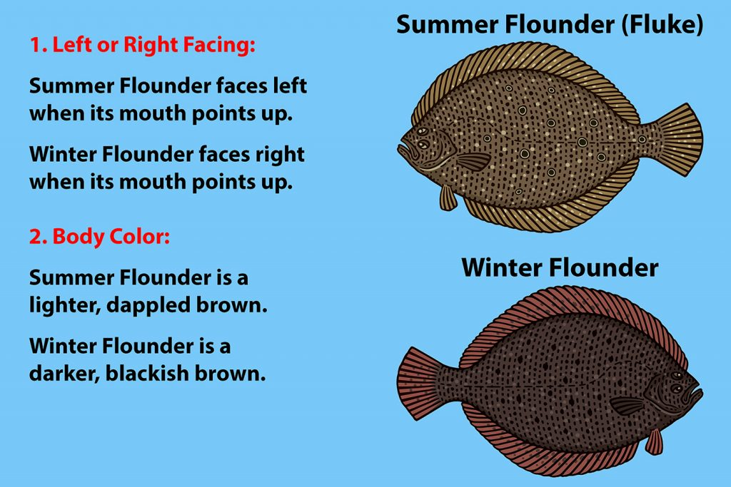 A diagram explaining how to recognize Fluke vs Flounder. Fluke, or Summer Flounder, is above. Winter Flounder is below. The writing on the left explains that Fluke faces left and Winter Flounder faces right.