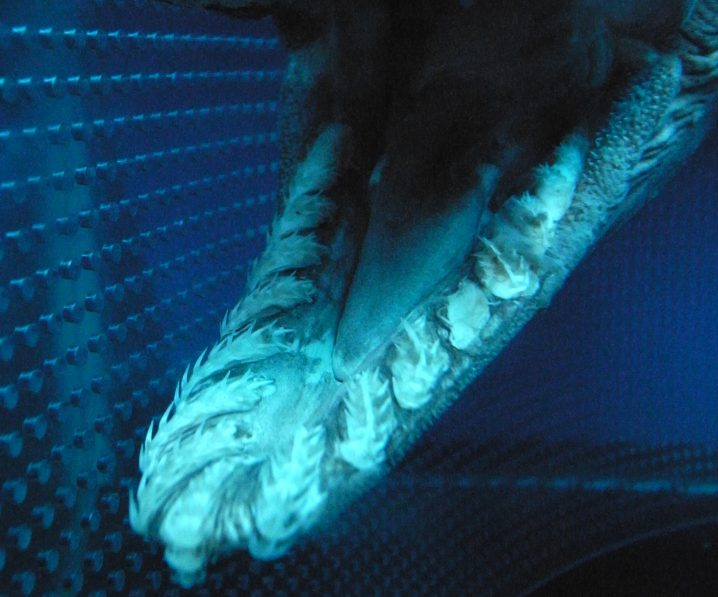 Frilled Shark open mouth, view of lower jaw with teeth
