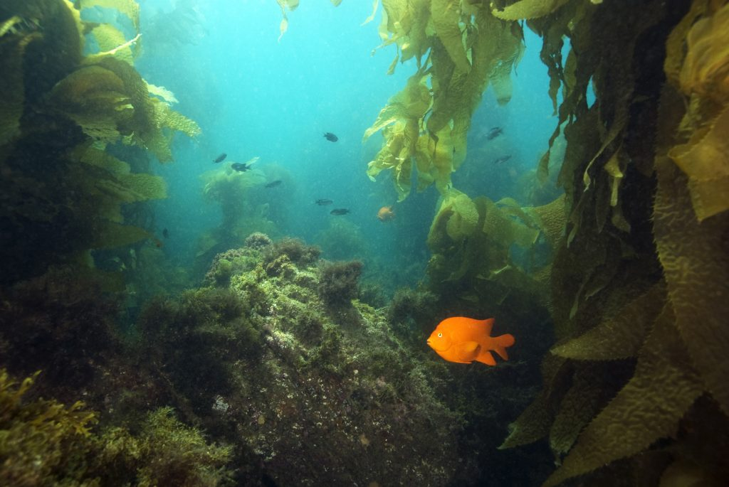 A rocky underwater reef near Catalina Island, California. A Garibaldi fish swims in the foreground and giant kelp is visible in the distance.