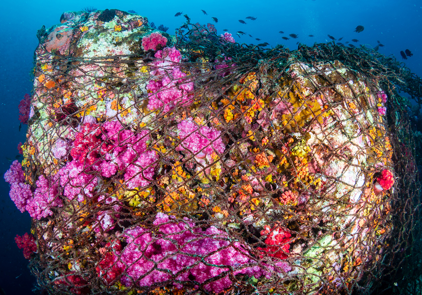 Ghost fishing. A colorful coral reef covered in a commercial fishing net.