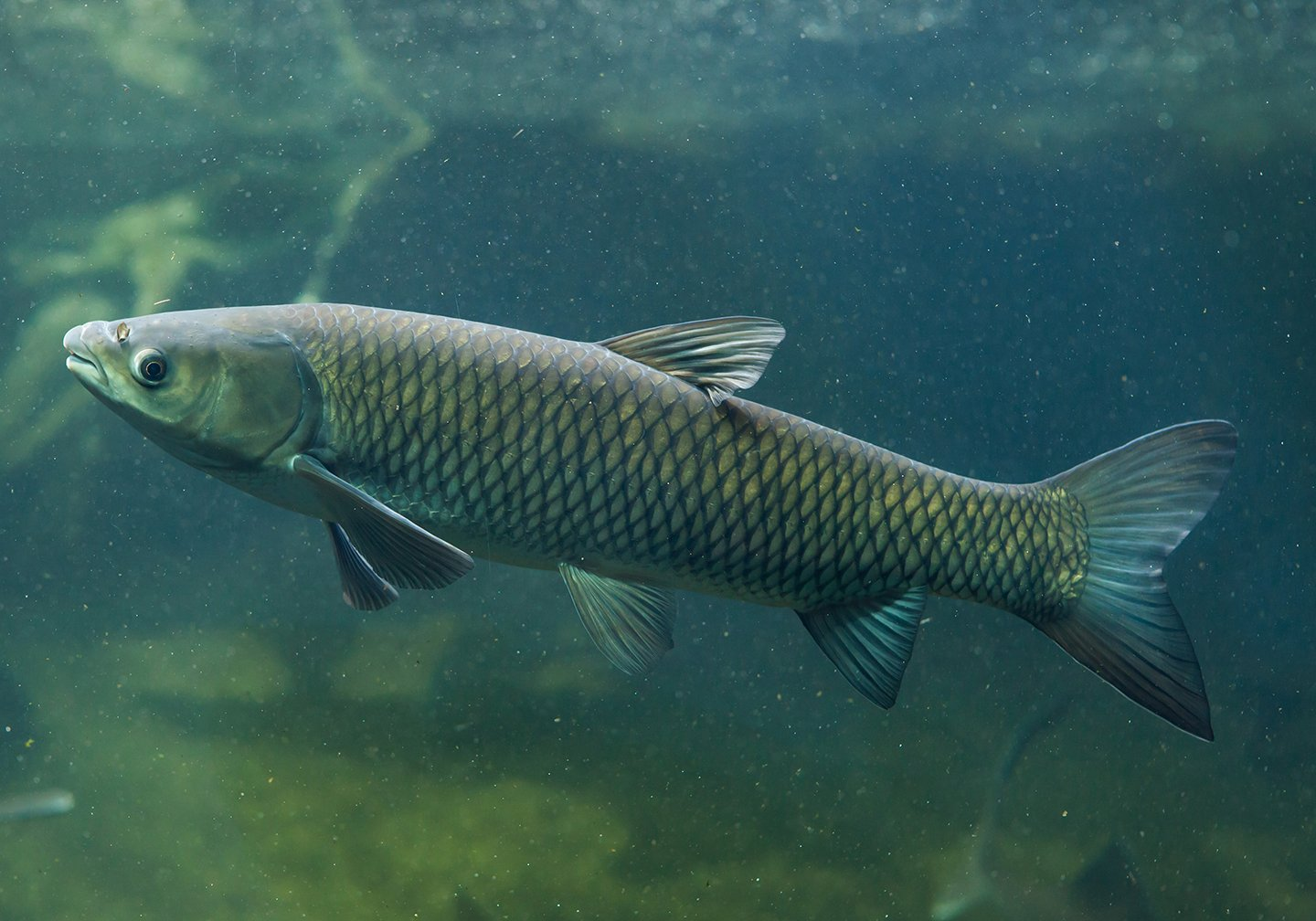 An Asian Grass Carp