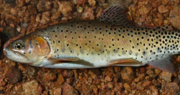 A picture of the Colorado State Fish, the Greenback Cutthroat Trout, taken from side with rocks behind the fish