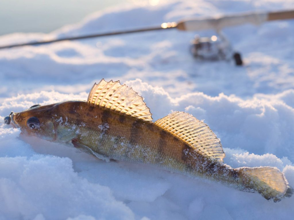 A small Walleye in snow caught while ice fishing, with an ice fishing rod in the background