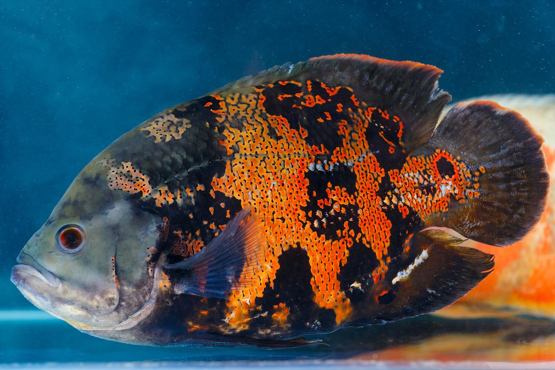A close-up of an Oscar, an exotic aquarium fish