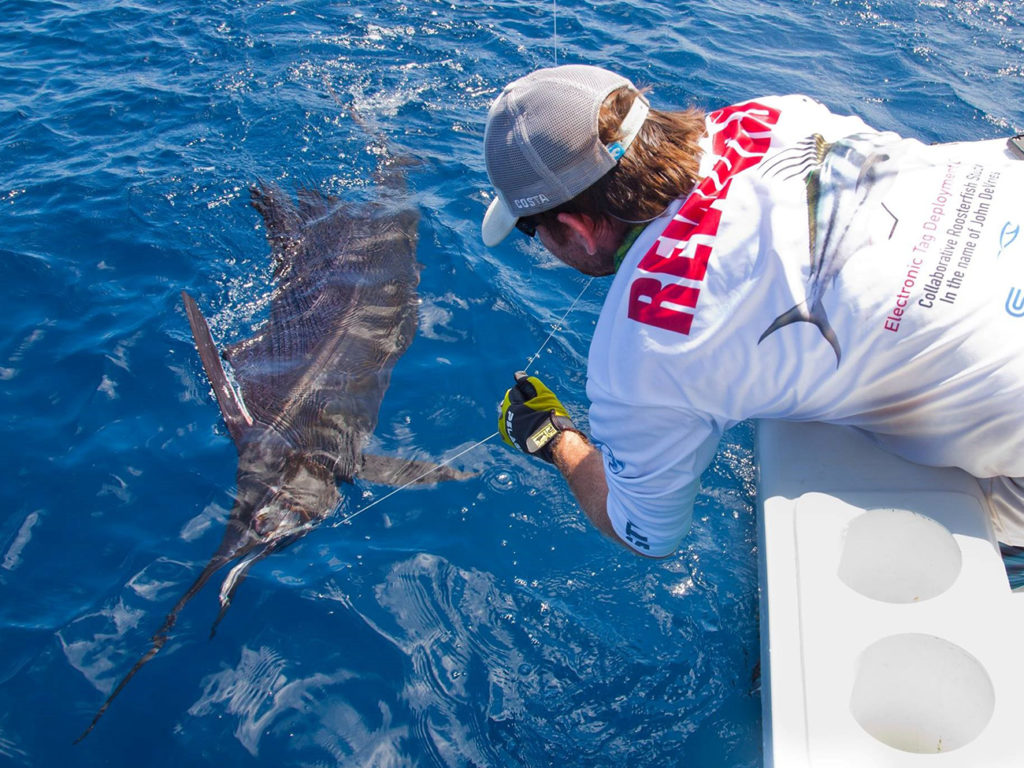 A man in a white shirt and cap leaning over the side of a boat to release a Sailfish